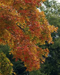 Leaves turn a lovely shade of orange and red in the fall.